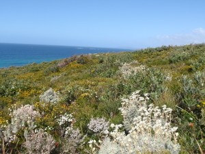 Overlooking the blue Pacific where we find native flowers